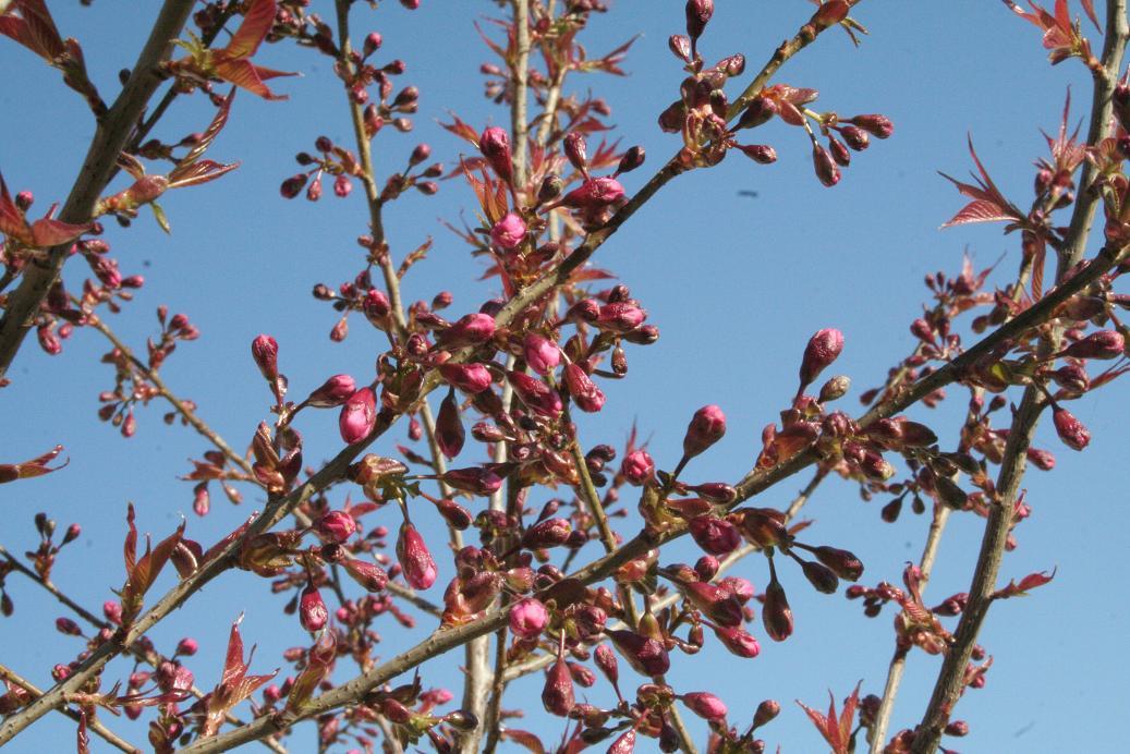 [转帖]院子里的樱桃树